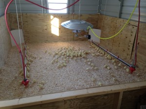 Brooder at Healthy Hen Farms.