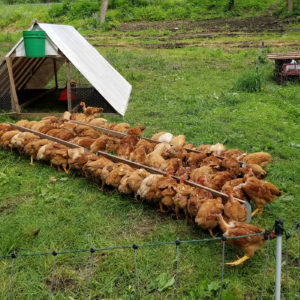 PPT052: Pastured Poultry Set Me Free