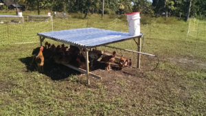 hens on pasture in haiti